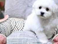 武汉出售纯种法国卷毛比熊犬小型犬宠物狗活体茶杯犬