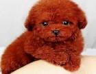 重庆出售纯种泰迪幼犬 公母齐全 包健康 包纯种 签协议