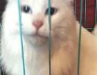 白色成母波斯猫