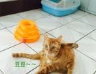 美猫求领养