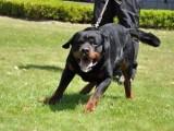 纯种罗威纳养殖 品相一流包健康 可签协议 可上门看狗
