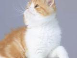 浙江嘉兴双血统加菲猫一手出售