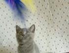 蓝猫,1公2母