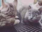 出售高端大包子加菲 慵懒蓝猫宠物猫 俊俏虎斑 可爱渐层 折耳