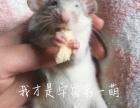 飞象耳花枝鼠弟弟送优质鼠粮