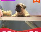 本地出售纯种巴哥幼犬,十年信誉有保障