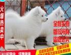 出售极品宠物和赛级萨摩耶幼犬欢迎选购