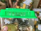 金花松鼠,成体幼崽