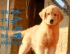 本地较大的金毛巡回犬专业繁殖基地 可上门挑选