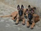 基地繁殖纯种健康的马犬低价出售信誉和品质有保证