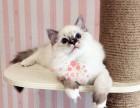 兰州宠物 兰州哪里的布偶猫较便宜 纯种布偶猫一般卖多少钱一只