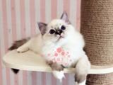 厦门哪里有正规猫舍 厦门出售布偶猫 纯种布偶猫价格