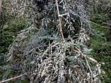 汕头山豆根种苗供应