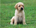 拉不拉多犬养殖基地 品质高血统好 打完疫苗证书齐全
