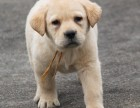 训练有素拉不拉多 神犬小七同款 智商高 导盲好