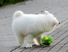 中国专业繁殖双血统萨摩耶犬舍 可以上门挑选
