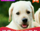 本地出售纯种拉布拉多幼犬,十年信誉有保障