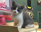 猫舍火爆出售蓝白猫 价格不高