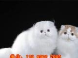 超级优雅波斯小猫咪出售,霸气波斯猫