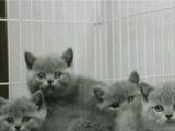 自家繁养,猫舍出售纯种蓝猫 蓝猫折耳公母都有