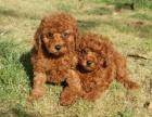 上门700 精品泰迪犬 协议有保障 公母多只可选