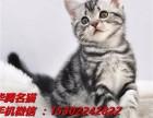 深圳哪里有卖虎斑美短小猫咪价格多少纯种标斑美短多少钱一只