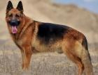 精品德国牧羊犬 血统纯正 品相好 价格优惠 送狗狗用品