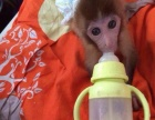 袖珍宠物猴,小石猴