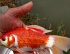 渔场直销;各种锦鲤、红草、饲料鱼、放生鱼