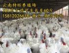700系尼古拉火鸡-60斤纯种火鸡