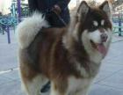 临沂本地纯种繁育 阿拉斯加幼犬 有红和烟灰两色 驱虫疫苗已打