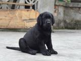 中國專業繁殖雙血統拉布拉多犬舍 可以上門挑選