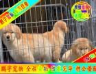 純種健康都是較起碼的保障 京津冀可送狗上門 金毛犬