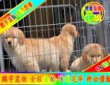 纯种健康都是较起码的保障 京津冀可送狗上门 金毛犬