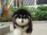 买纯种宠物级巨型熊版阿拉斯加幼犬 签活体质保协议