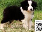 哪里有边境牧羊犬出售 纯种边境牧羊犬多少钱