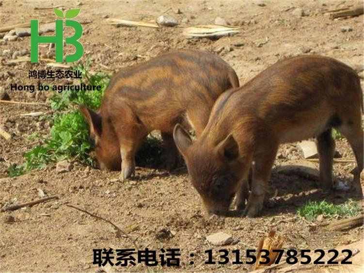 出售纯种野猪苗 野猪苗的价格 野猪养殖场