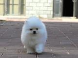 高品质双血统博美犬哪里可以买到好一点的