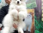 出售自家繁育的纯种健康萨摩耶幼犬,包健康纯种养活!