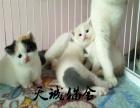 纯种布偶猫,猫舍繁殖,健康纯种,品质保障
