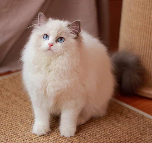 深圳出售布偶 猫舍挑选 海双蓝双山猫纹手套布偶 带血统保健康
