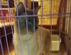 暹罗猫(种公),蓝重点