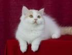 CFA浩瀚名猫馆 家庭猫舍 健康保障 精品幼猫出售