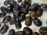 南石种龟,任意挑选一只起售,支持快递,有兴趣的请速联系