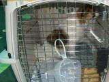 成都誠信寵物托運服務部為您講解怎樣辦理寵物托運