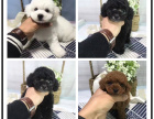 本地犬舍繁殖精品贵宾犬 健康质保 放心挑选
