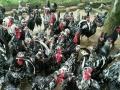 野鸡、野猪、野兔、绿壳蛋鸡、可鲜活配送