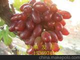 河北京亚葡萄苗大量批发