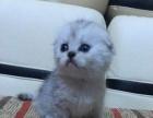 出售萌萌达蓝猫加菲 美短 折耳猫短毛猫买猫送品一套