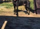 出售黑狼犬 黑狼幼犬 品质好 质量保证